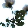 CANON Canon EOS Kiss Digital Xで撮影した植物(去りゆくあなたに捧げる)の写真(画像)