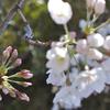 花よりも 蕾の色の 鮮やかさ