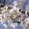 穏やかな 風にも揺れし 花びらを カメラ構えて 待つ一瞬