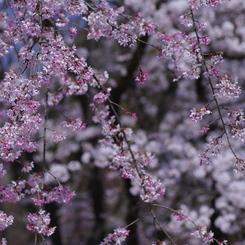 PENTAX PENTAX K200Dで撮影した植物(枝垂桜)の写真(画像)