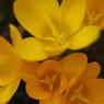 PENTAX PENTAX K200Dで撮影した植物(クロッカス)の写真(画像)