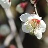PENTAX PENTAX K200Dで撮影した植物(梅)の写真(画像)