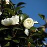 NIKON COOLPIX P80で撮影した植物(山茶花)の写真(画像)