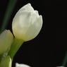 PENTAX PENTAX K200Dで撮影した植物(蕾)の写真(画像)