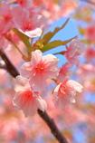 早咲きのサクラは散り時です。。。