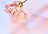ぶらっと花見(1)