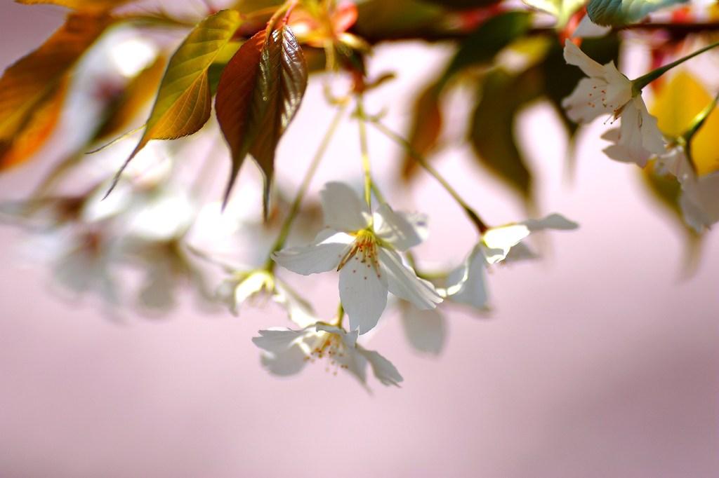 桜だらけで、背景も桜色です!