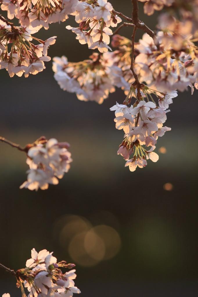 夕映えに散る桜