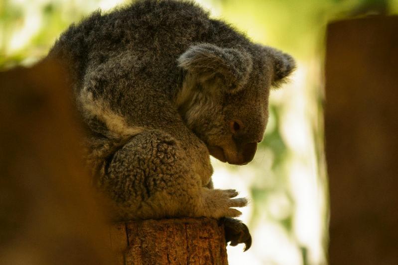 寝かけのコアラ
