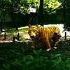 トラを撮らねば!