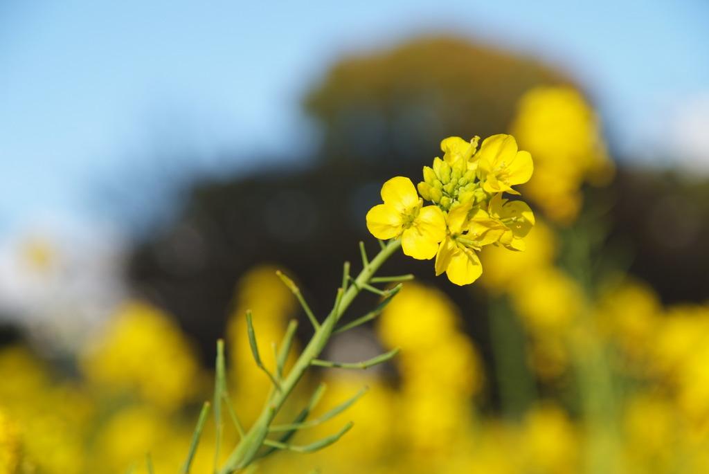 都会の菜の花