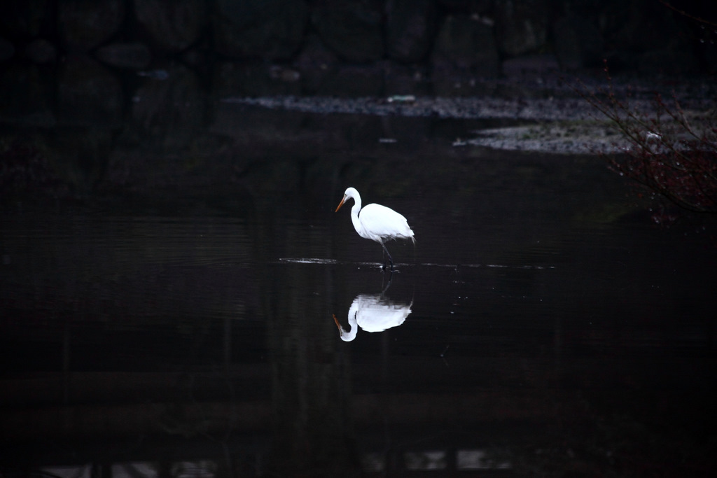 鷺沼の白鷺