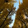外苑いちょう並木