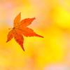 秋を舞う紅葉