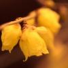 庭の蝋梅1