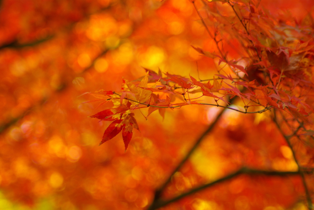 木漏れ日の紅葉三