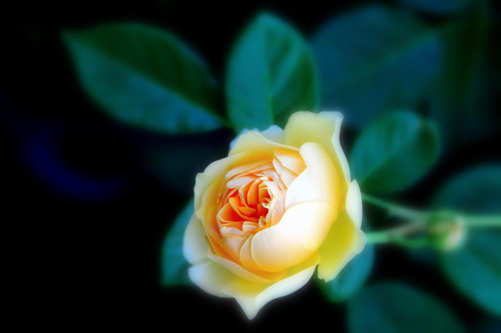 黄色い薔薇静かに