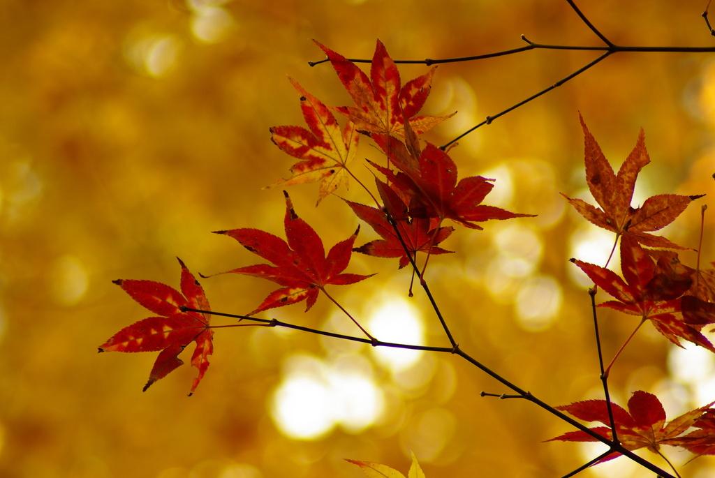 黄葉の下の紅葉二