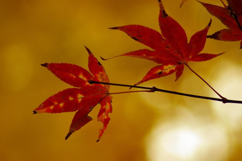黄葉の下の紅葉一