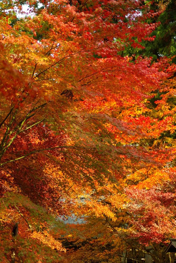 揺れる紅葉たち