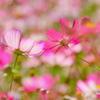 秋桜の夢2