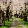 桜ずい道(春風通り)