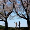 満開の桜樹往来-10(2016桜花-23)