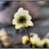 庭の蝋梅2