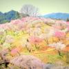 見納めの梅の公園