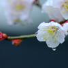 春雨じゃ濡れて咲こう・・