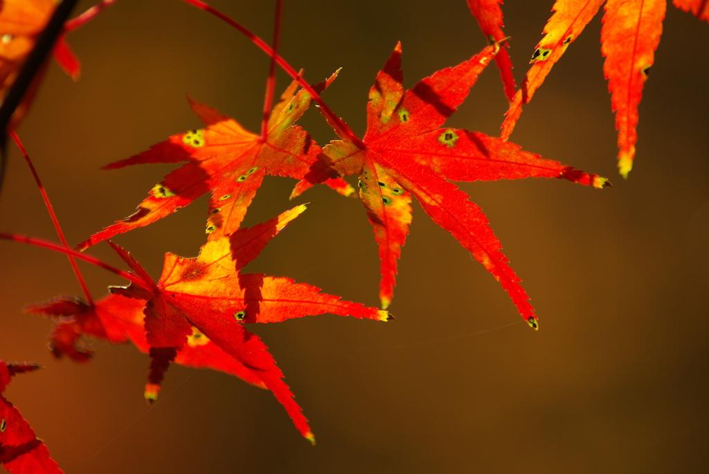 くれないの葉