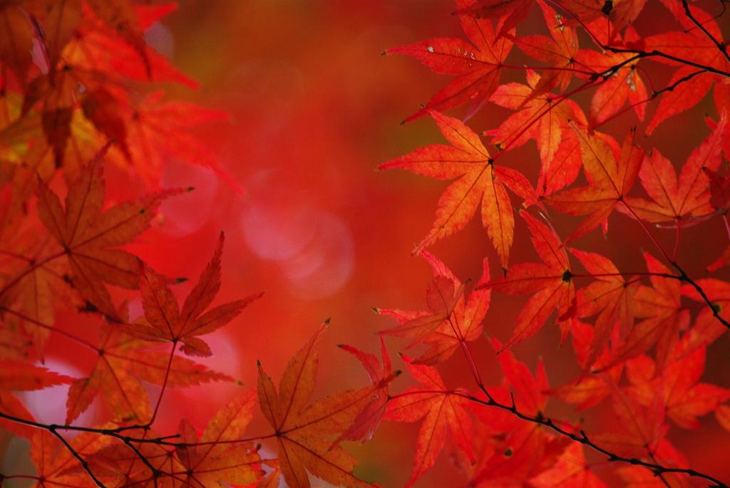 火炎の紅葉
