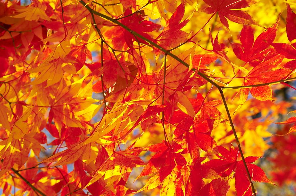秋日の紅葉