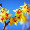 宝登山に春よぶ和蝋梅