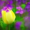 チューリップ5 花飾り