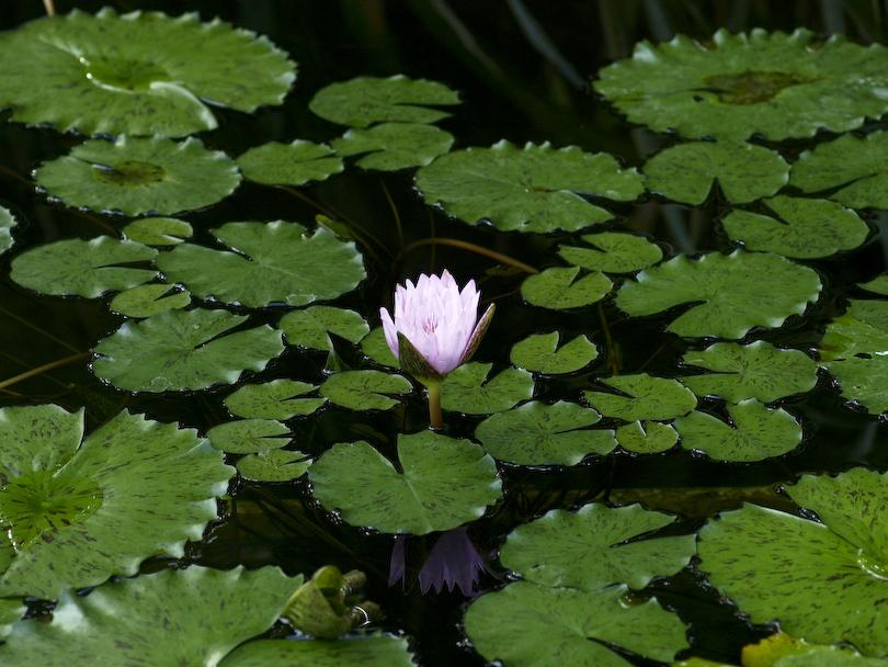 池に浮かぶ一輪の花