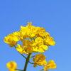 青空には、菜の花の黄色