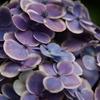紫陽花 ~ブルー~