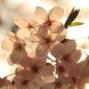 a piece of cherry blossom