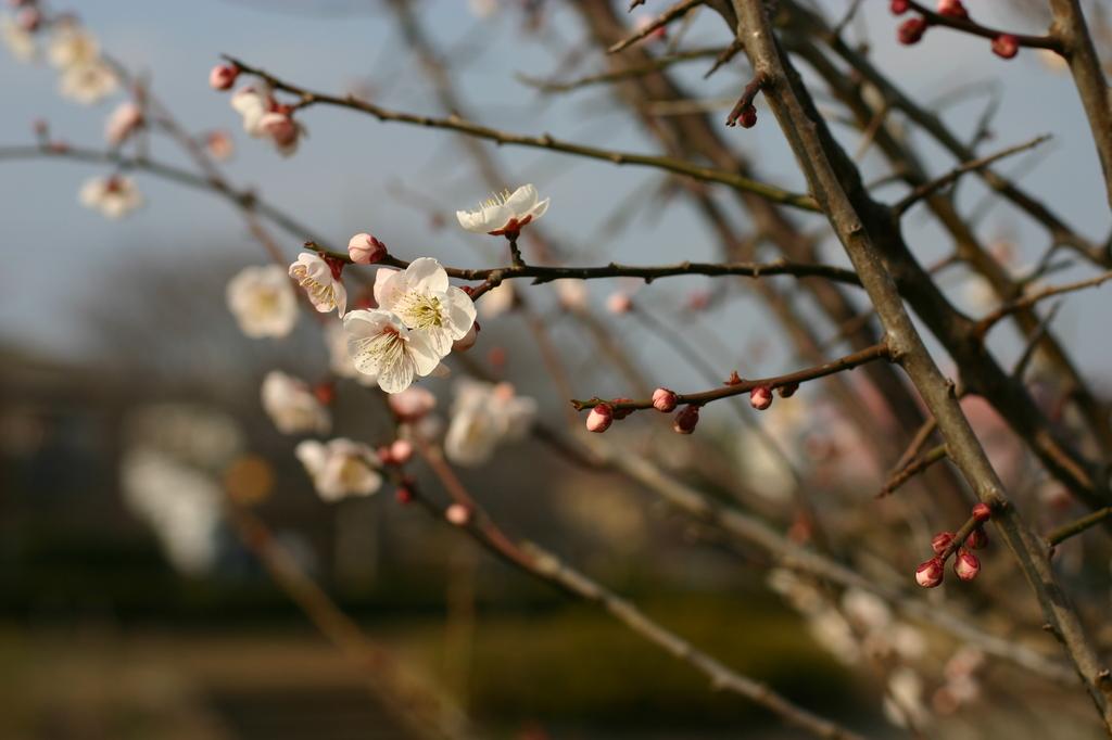 お散歩中 梅の花②
