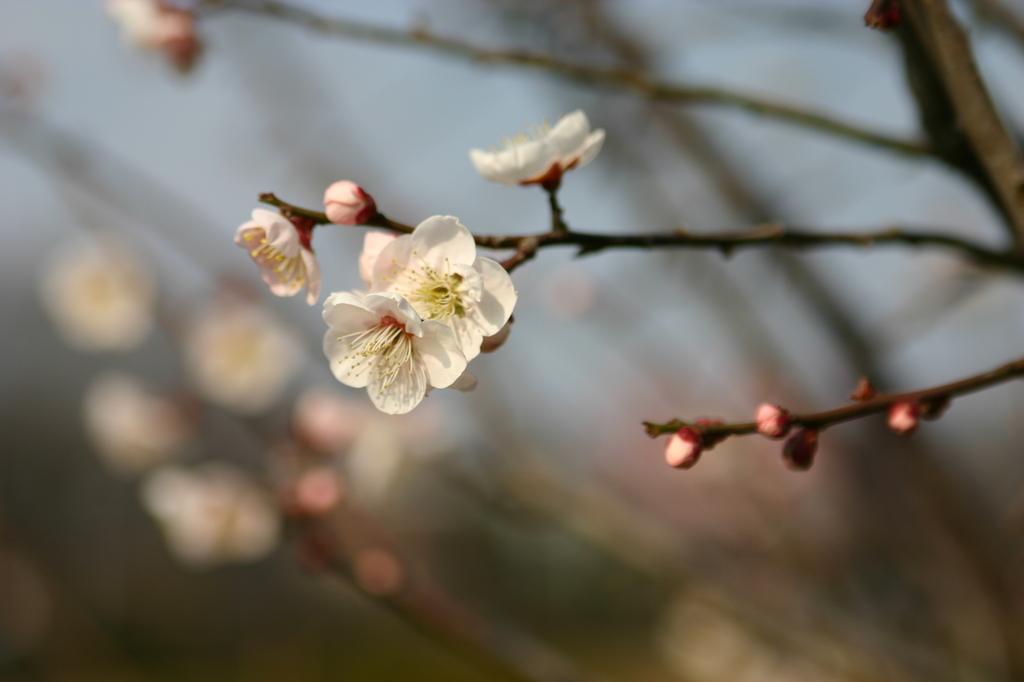 お散歩中 梅の花①