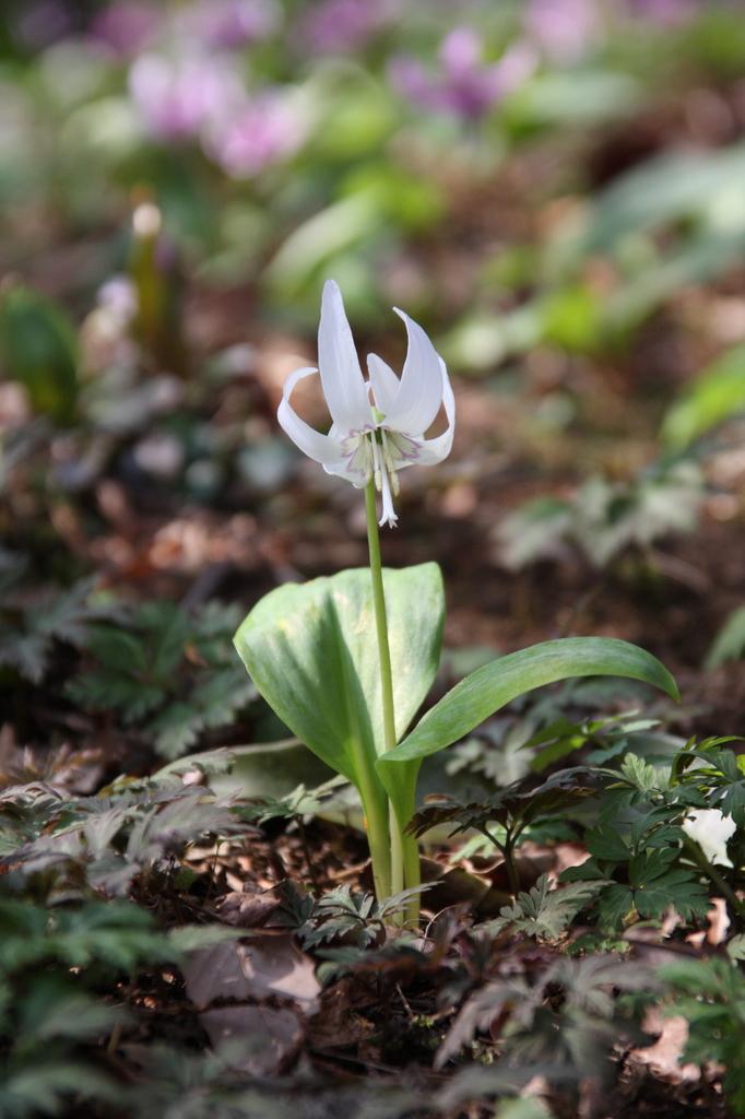 白いかたくりの花