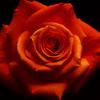 高貴 薔薇