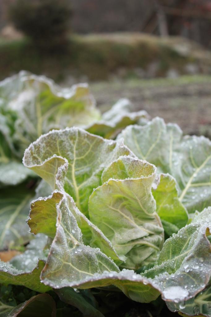 初霜の京野菜