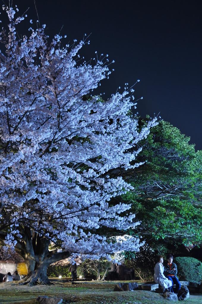 夜桜デート