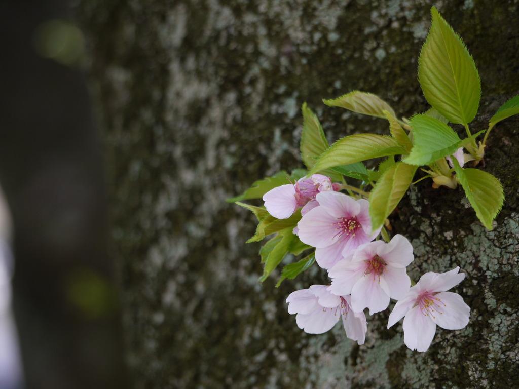 大樹に咲く