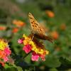 ランタナと蝶々