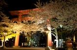 夜桜その1
