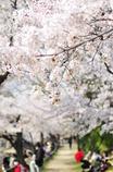 夙川桜散歩