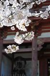 醍醐寺の仁王門と桜
